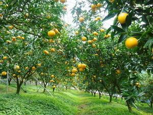 究極の柑橘「せとか」 順調に色づき今年も元気に成長中!!まもなくビニールをはり最後の仕上げです!! - FLCパートナーズストア