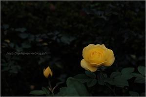 薔薇の名前 - りゅう太のあしあと