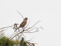 今シーズン初認のベニマシコ - コーヒー党の野鳥と自然 パート2
