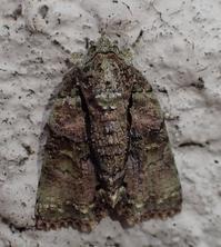キノカワガ Blenina senex - 写ればおっけー。コンデジで虫写真