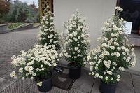 ノジギク満開&出店のお知らせ - 手柄山温室植物園ブログ 『山の上から花だより』