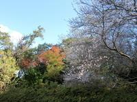 四季桜と紅葉 (大高緑地公園) - 緑区周辺そぞろ歩き
