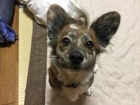近づく冬 - 琉球犬mix白トゥラーのピカ