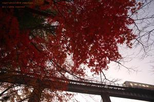 紅いもみじの木を仰ぎ - ローカル鉄道散歩
