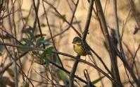 ハイイロチュウヒ撮りの皆さん注意が必要です(1人では撮らない方がいいですよ) - 私の鳥撮り散歩