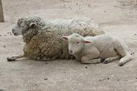 こんにちは!ヒツジ&ヤギの赤ちゃん!!(埼玉県こども動物自然公園) - 続々・動物園ありマス。