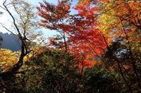 立処山のリュウノウギク(良)10月24、25日撮影 - 野山の花たち