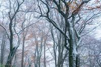 みちのく晩秋のブナ林景 - みちのくの大自然
