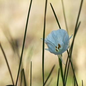 Narcissus Bulbocodium var.monophyllus -