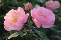 午後の終わりのバラ - 木洩れ日 青葉 photo散歩
