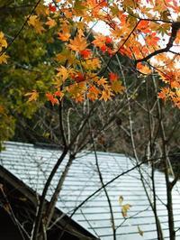 庭のモミジ紅葉・・・西高東低の針畑しぐれ - 朽木小川より 「itiのデジカメ日記」 高島市の奥山・針畑からフォトエッセイ