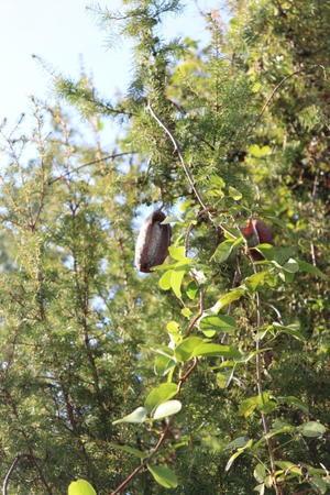 アケビと不思議な柑橘の木 - うふふなダイドコ+plus