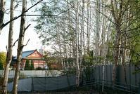 白樺の白と寺院の赤と旭川の初雪ニュース - 照片画廊