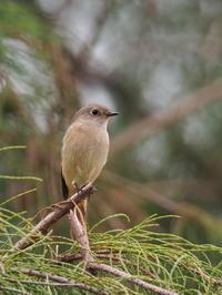 遊水地にジョウビタキが元気でした - コーヒー党の野鳥と自然 パート2