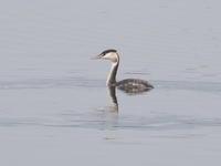 谷中湖に浮かぶカンムリカイツブリ - コーヒー党の野鳥と自然 パート2