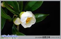「花たち - 初椿・白西王母(シロセイオウボ)」 - デジカメ散歩写真