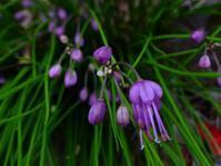 初見初撮りの「キイイトラッキョウ」と「ハナスベリヒユ」、お馴染みのホトトギス - 花と葉っぱ