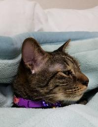 毛布に - キジトラ猫のトラちゃんダイアリー