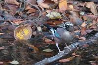 水場のカケス - 上州自然散策2