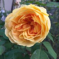 モリニューの6番花 - 春&ナナと庭の薔薇