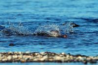 ウミアイサの漁その1 - 比企丘陵の自然