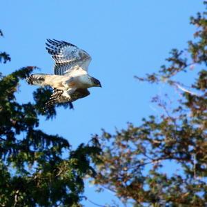 熊鷹の飛翔 -