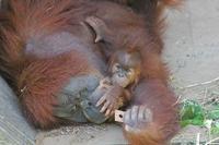 スマトラオランウータンの赤ちゃん「ポポ」(市川市動植物園) - 続々・動物園ありマス。