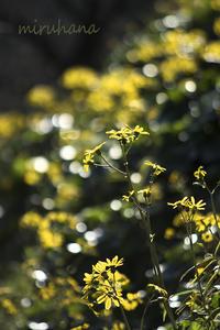 ツワブキと菊*はままつフラワーパーク - MIRU'S PHOTO