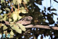 とにかく嬉しいです、撮れるか撮れないかの鳥です、こんな鳥が撮れるので鳥撮りは楽しいし、止められないよ( ´艸`)。誠 - 皇 昇