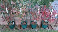 2018年購入鉢植えブルーベリー達の紅葉 in 広島市 - 初めてのブルーベリー栽培記