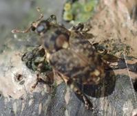 トゲハラヒラセクモゾウムシか近縁種? Metialma cordata? - 写ればおっけー。コンデジで虫写真