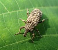 ヤサイゾウムシ? Listroderes costirostris? - 写ればおっけー。コンデジで虫写真