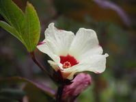 ハイビスカスが開花しています - 神戸布引ハーブ園 ハーブガイド ハーブ花ごよみ