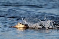 ウミアイサの漁その2 - 比企丘陵の自然