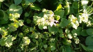 晩秋の季節が変だ!河津桜に花が数輪(上段の写真)、ほとけの座が咲き始めた(中断の写真)、ススキは穂を見た記憶がないのに枯れすすき?? - 平和憲法を世界へ未来へ