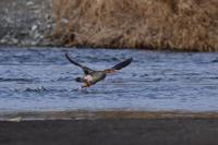 ウミアイサ - ごっちの鳥日記
