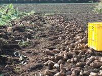 里芋の収穫 - 野菜tukuri