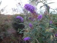 ブッドレア&花海棠 - だんご虫の花