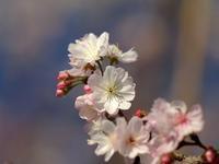 寺町通りで秋の桜 - 2 - - いや、だから 姉ちゃん じゃなくて ネイチャー・・・