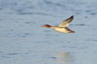 ウミアイサ(メス) ①着水シーンから - 気まぐれ野鳥写真