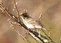 カシラダカ - 可愛い野鳥たち 2