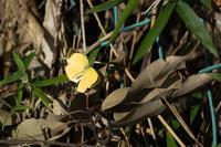 キタキチョウを撮っていると(埼玉県南部のツマグロキチョウ) - ヒメオオの寄り道
