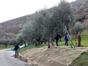 オリーブ収穫、夕焼け空と火焼き栗 - なおこのイタリア写真草子 Fotoblog da Perugia