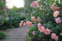 夕暮れどきのバラ(1) - 木洩れ日 青葉 photo散歩