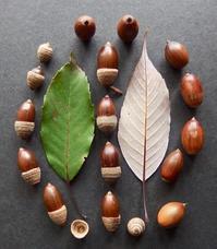 #ドングリ #果実  『裏白樫』  Quercus salicina - 自然感察 *nature feeling*
