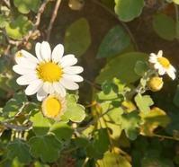 野菊の咲く庭… - 侘助つれづれ