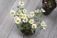 白い花と白い実の植物 - 宙吹きガラスの器