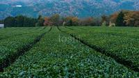 晩秋の茶畑と室生湖箸休め - toshi の ならはまほろば