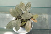 "Homalomena sp. 'BNN' ""Sibolga timur"" - PlantsCade -2nd effort"