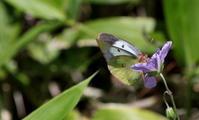 熟成藏出し - 紀州里山の蝶たち